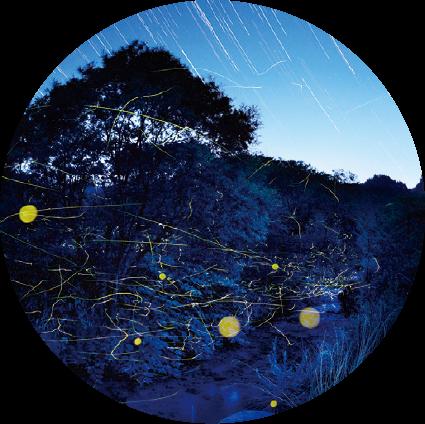 Green Season July : Firefly Viewing